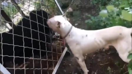 比特犬攻击藏獒,没人敢劝架,下一秒意外发生了
