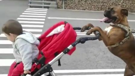 狗狗保姆,带娃哄娃样样拿手,妈妈:养娃轻松多了