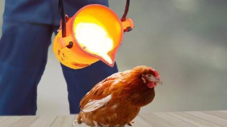 老外作死,将1000度熔铜浇在鸡身上,会发生啥?镜头记录全程