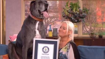 这是世界上最大的狗?站立时高达2.3米,女主人为照顾它一直单身