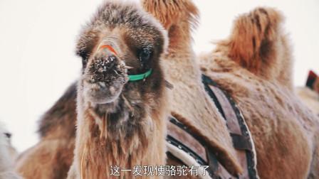 风雪沙漠之旅!呼伦贝尔骆驼和驯鹿 体验两种动物带来的惊喜体验
