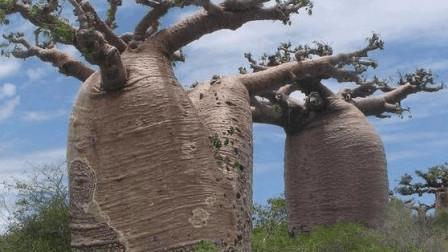 """能储存2吨水的瓶子树,我国引进种植,却沦为""""笑柄"""""""