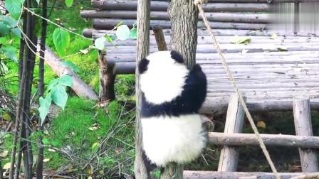熊猫:国宝大熊猫到底是熊科,还是猫科