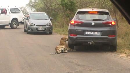 花豹看上一辆车,上前就开蹭,亲昵的好像自己的玩伴!