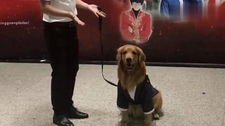 主人领着金毛轮胎参加节目,不愧是一只网红狗狗,可听话了