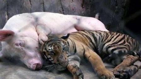"""小老虎被母猪""""喂养""""长大,如今竟成这幅模样,画面有点无法直视"""