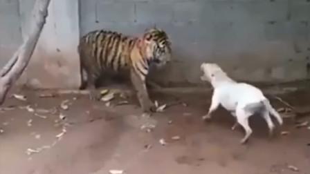 大胆狗子居然敢去挑衅百兽之王,结果被一招秒杀!镜头记录全过程