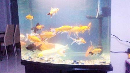 家中养鱼的数量与颜色会影响运势 里面讲究多 结合风水学为您分析