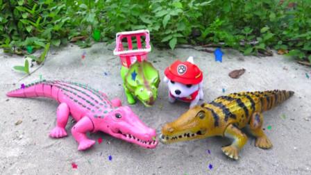 户外两只鳄鱼寻找食物和尾巴
