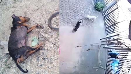 实拍英雄狗狗为保护小主人跟眼镜蛇殊死搏斗同归于尽