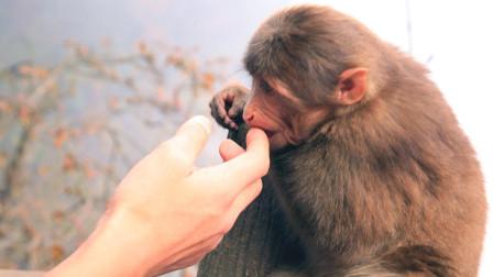 峨眉山的猴子如此技艺超群,网红当之无愧,太会抢东西了