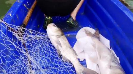 暴雨过后小哥去水坝下网,晚上去收网时,大鱼连续不断