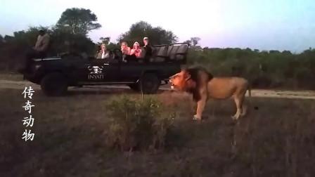 镜头下一只吼叫的雄狮