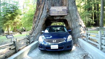 """美国挖""""树隧道"""",千年古树被掏空,如今自食恶果"""