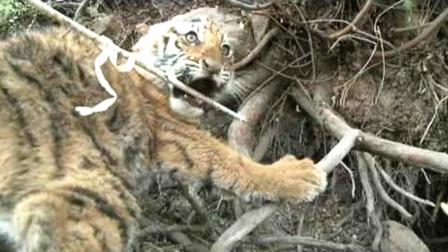 野外遇到一只小老虎,被扯住尾巴的小老虎很倔强,不愧是百兽之王