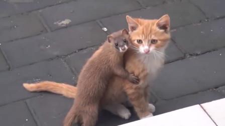 黄鼠狼作死挑逗猫咪,一口将猫咪锁喉,结果会怎样呢?