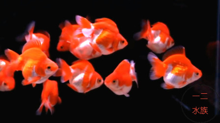 历经千年的观赏鱼,被热带鱼遮住光辉,中国金鱼何时再现辉煌?
