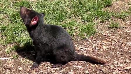 袋獾究竟有多厉害?看看平头哥的下场,你就知道了!
