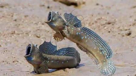 """史上最""""悲惨""""的鱼,进化3亿年才成功上岸,却被中国吃货成功盯上!"""