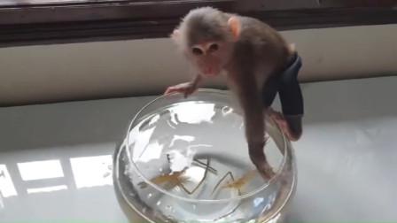 主人放两只虾放在鱼缸里,猴子好奇的凑过来,接下请憋住别笑!