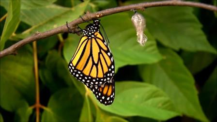 蝴蝶是怎样从毛毛虫进化而来的,镜头记录全过程,太神奇了!
