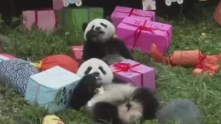正午播报 2019 18只大熊猫宝宝集体过周岁生日