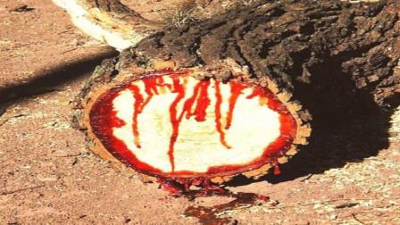 """男子野外看见大树""""不断流血"""",将其锯开后,发现这树不简单"""