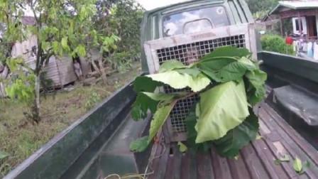 被困木笼2年的红毛猩猩终获自由对外界感到惊恐