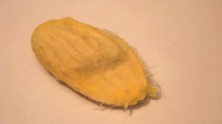 吃完的芒果核不要扔,种成盆栽简单又好看,天天都有芒果吃
