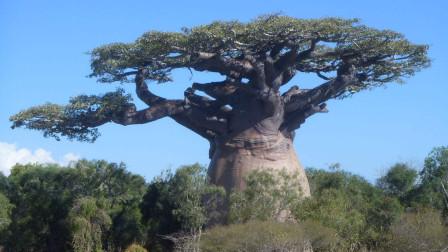 这棵猴面包树已经活了六千年,目前还在树内建了个酒吧