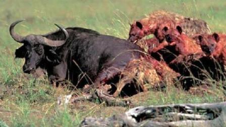 非洲鬣狗不掏肛改掏蛋了,水牛直接倒地不起,悲惨叫声传遍草原!