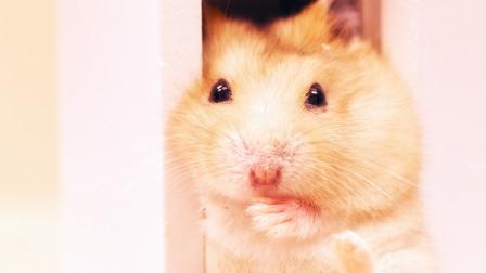 高温来袭仓鼠躲进冰箱求空调和冰西瓜