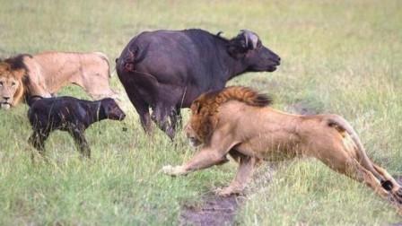 狮子盯上小水牛,在草丛耐心伏击,下一秒小水牛悲剧了