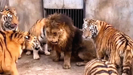 5只老虎群殴1头狮子,给狮子欺负的一脸委屈,一声也不敢吭!