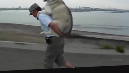 一只幸福的哈士奇,走不动了还要主人背,狗生赢家啊