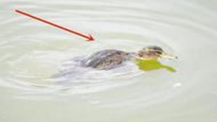 一群鸭子在岸边,唯独这只鸭子在水里挣扎,男子走近一看惊呆了
