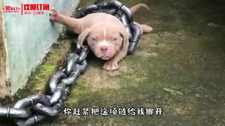 听说现在流行养恶犬 让你看看王大爷养的恶犬 别被吓着了啊