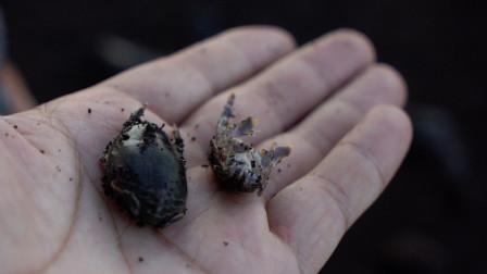 有人叫它海臭虫,有人叫它浪花蟹,台湾人叫它倒退噜!!!