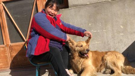 農村小慧這次回家,發現金毛狗狗有所變化,聽她說的是不是真的