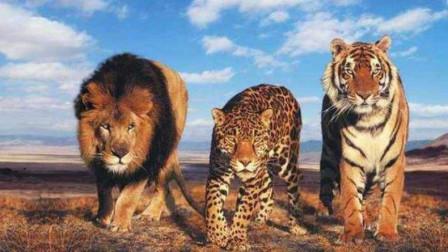 """为啥狮虎豹要被称作""""猫科动物""""?慵懒而又高贵,猫科动物标配!"""