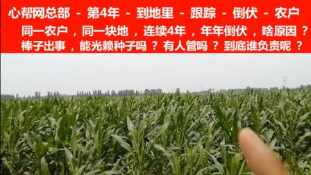 心帮网总部-连续4年-跟踪-倒伏农户-同一块地-年年倒伏-到底啥原因啊?
