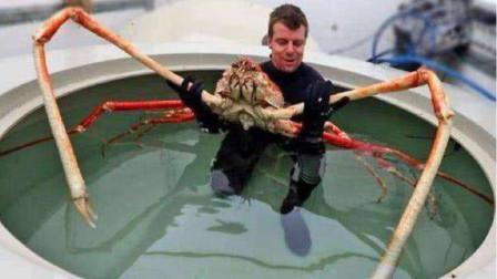 """日本深海""""蜘蛛蟹"""",腿长3米可再生,能循环着吃"""