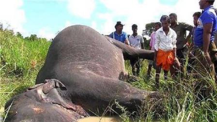 大象死后尸体不能触碰?看看这位好奇小伙的下场,就明白了
