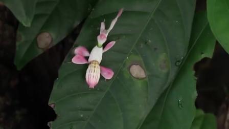 这只螳螂看起来太像一朵花了,可谓昆虫界的伪装大师,你能发现吗