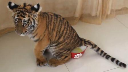 小老虎上厕所,完事后转身就尝了一口,看表情真是一言难尽啊!