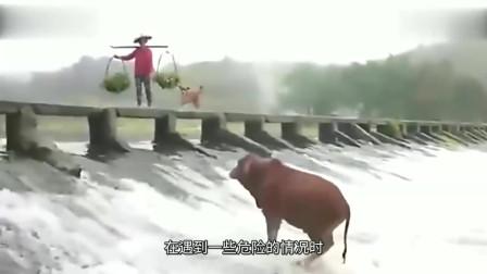 老牛被急流冲进河里,岸上大姐淡定观看,下一秒要不是监控谁信!