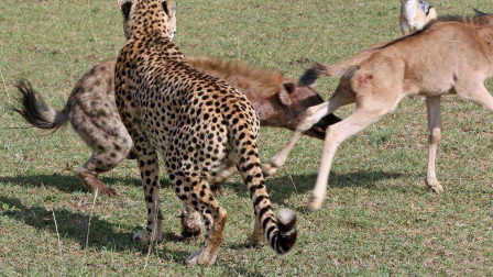 鬣狗成群抢夺猎豹食物,猎豹无奈放弃!敢怒而不敢言!