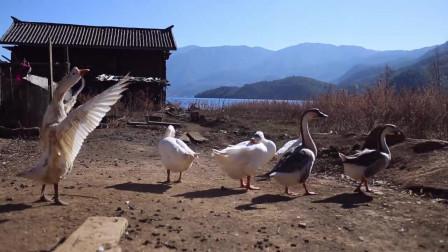 泸沽湖的鹅