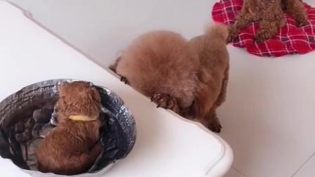 主人套路泰迪哈尼吃狗粮,哈尼祷告期间瞬间把狗粮换成泰迪宝宝!