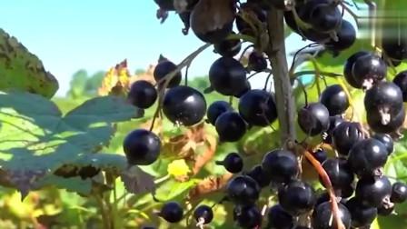 美食:黑加仑也叫黑醋栗,教你怎么区分黑加仑和黑葡萄!